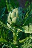 karczoch roślina Obraz Stock