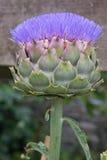 Karczoch roślina w kwiacie Zdjęcia Royalty Free