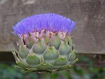 Karczoch roślina w kwiacie Obraz Stock