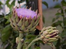 Karczocha kwiat Zdjęcie Royalty Free