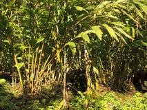 kardamon plantacja zdjęcie royalty free