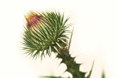 Kardborren är inte en blomstra blomma på en vit bakgrund, en tagg, Royaltyfri Fotografi