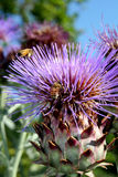 Karde (Cynara cardunculus) Lizenzfreies Stockbild