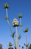 Karde pflanzt Blumen gegen blauen Himmel des Sommers. Stockfoto