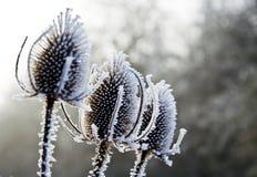 Karden und Frost Stockfotos