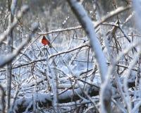 Kardinaal in de sneeuw Royalty-vrije Stock Afbeelding