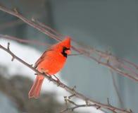 Kardinaal in de winter Royalty-vrije Stock Afbeeldingen