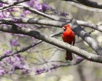 Kardinaal in een boom Royalty-vrije Stock Afbeeldingen
