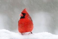 Kardinaal in een Onweer van de Sneeuw royalty-vrije stock afbeelding