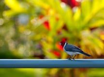 Kardinaal met rode kuif op omheining in Kauai Royalty-vrije Stock Fotografie