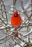 Kardinaal in Sneeuw Stock Afbeeldingen