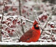 Kardinaal in sneeuw 6752 Royalty-vrije Stock Fotografie