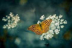 kardinaal van de insect de enige vlinder in de zomer in daglichtclose-up stock afbeelding