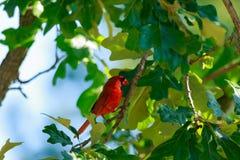 kardinal Royaltyfri Fotografi