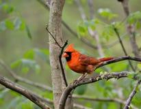 Kardinal (2) royaltyfria foton