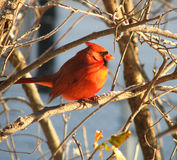 kardinal 5 Royaltyfria Foton