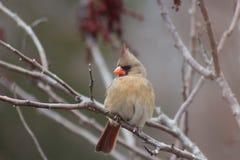 kardinal Royaltyfri Foto