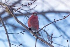 kardinal Royaltyfria Bilder