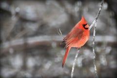 kardinal Arkivbild