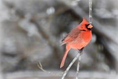 kardinal Royaltyfria Foton