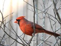 kardinal Fotografering för Bildbyråer
