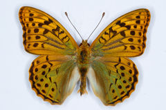 Kardinal Argynnispandora fjäril Arkivfoton