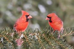 Kardinal auf einer Stange Lizenzfreie Stockfotografie