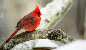 Kardinal auf einer Stange während eines schneebedeckten Tages Lizenzfreie Stockfotografie