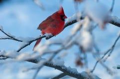 Kardinal auf schneebedecktem Zweig Stockbilder