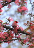 Kardinal in den Blumen Lizenzfreie Stockbilder