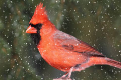 Kardinal in einem Schnee-Sturm Stockbilder