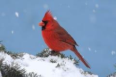 Kardinal in einem Schnee-Sturm lizenzfreie stockbilder