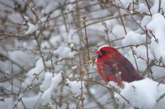 Kardinal in einem Snowy Bush lizenzfreie stockbilder
