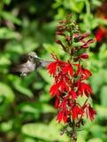 Kardinal Flower och kolibri Arkivfoto