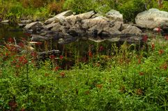Kardinal Flowers, Stewart Creek, Adirondack Forest Preserve, New York arkivfoton