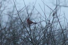Kardinal i buske Royaltyfri Foto