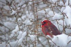 Kardinal i en snöig Bush royaltyfria bilder