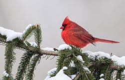 Kardinal i Snow Fotografering för Bildbyråer