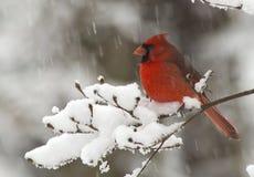 Kardinal i Snow Royaltyfria Bilder