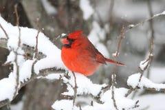 Kardinal i Snow Royaltyfri Bild