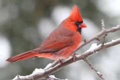 Kardinal i Snow Royaltyfri Fotografi