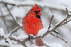 Kardinal i Snow Arkivfoto