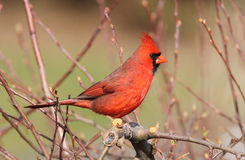 Kardinal im Frühjahr Stockfotos