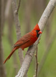 Kardinal im Frühjahr Stockfoto