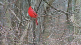 Kardinal im Holz stock footage