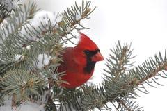 Kardinal im Schnee Lizenzfreies Stockbild