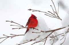 Kardinal im Schnee Stockfoto