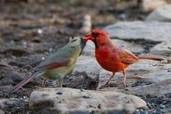Kardinal Kiss Fotografering för Bildbyråer