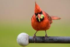 Kardinal mit Lebensmittel Lizenzfreies Stockbild