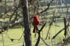 Kardinal på cirkel B Royaltyfria Bilder
